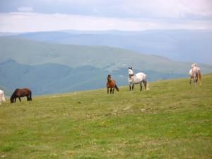 Stáda polo divokých koní v pohoří Capatiny