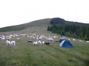 Stanování mezi ovcemi