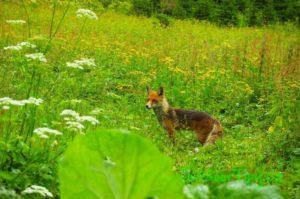 Liška vyhlíží dětské ruce se svačinami