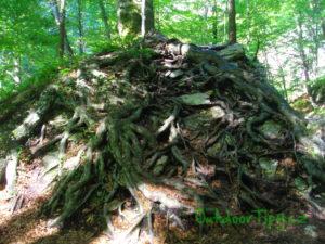 Kořeny držící skály pohromadě