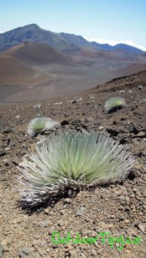 Silver wood, rostlina kterou jinde než v kráteru sopky Halekala na ostrově Maui nenajdete