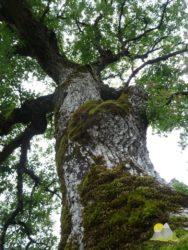 starý strom v podhradí